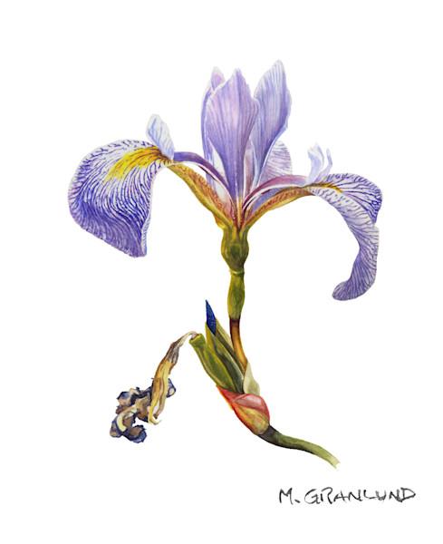 Blue Flag Iris Painting by Mark Granlund