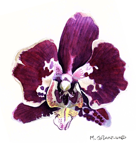 Watercolor painting of a white and purple Phalaenopsis orchid by Mark Granlund