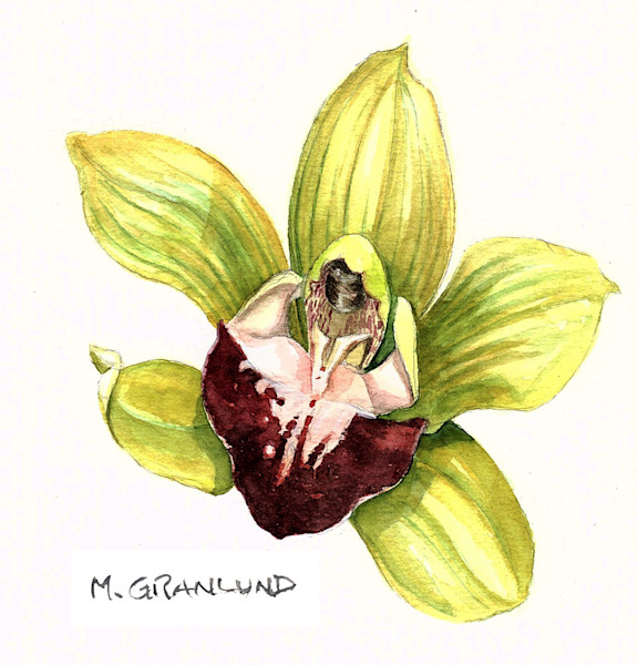 Cymbidium Orchid painting by Mark Granlund