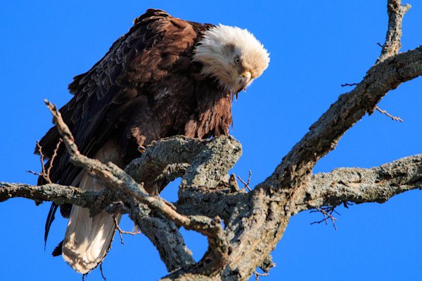Bald Eagle on branch with blue sky in the background by fine art photographer Steven Archdeacon.