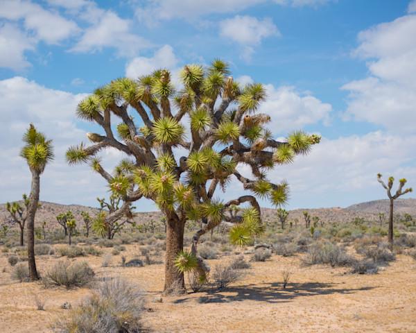 Joshua Big Tree