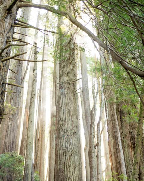 Humboldt Trees