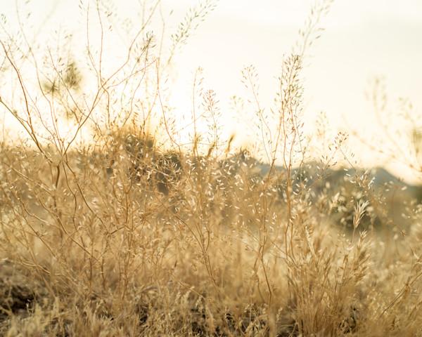 Joshua Tree Grasses