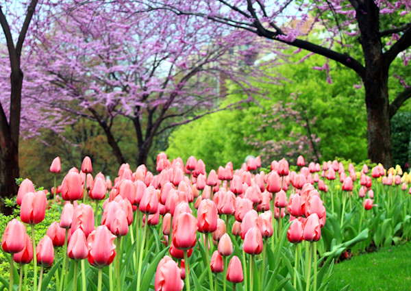 Tulips and Trees|Fine Art Photography by Todd Breitling|Flowers|Todd Breitling Art