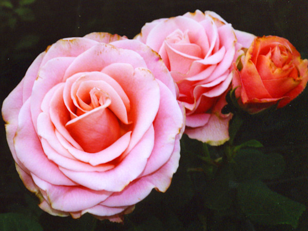 Pink Roses|Fine Art Photography by Todd Breitling|Flowers|Todd Breitling Art