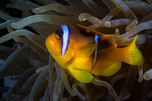 Two Banded Clownfish in Anemone