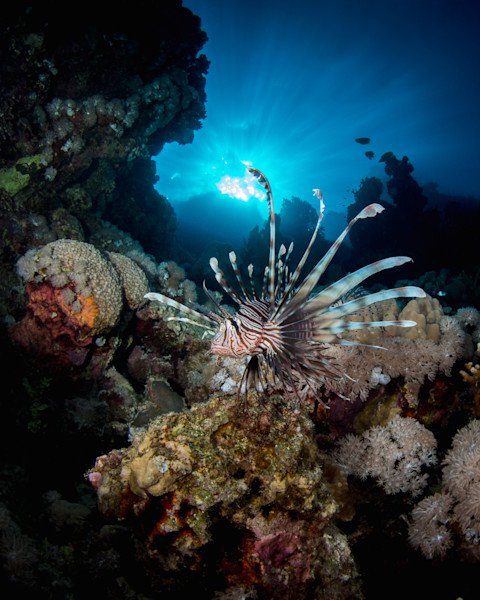 Red Lionfish on Reef