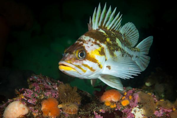 Copper Rockfish Portrait