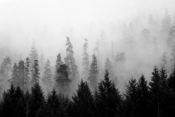 Firs in Fog 2