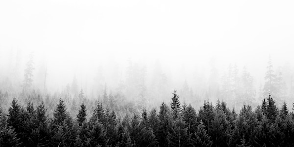 Firs in Fog 3