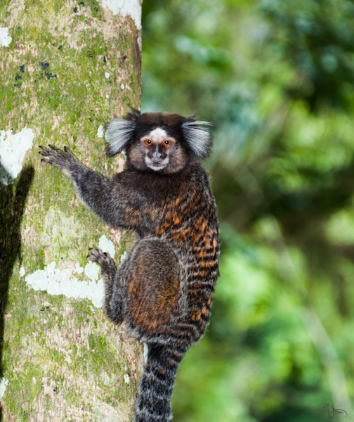 Marmoset Monkey portrait captured in Brazil and available as an art print on photo paper, canvas, metal and acrylic.