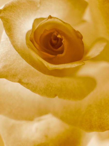 Rose in Sepia