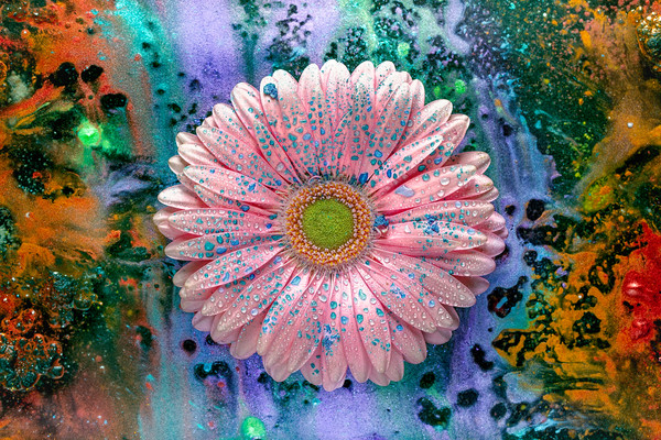 pink Gerber Daisies, Pink flower photography, mica pigments,