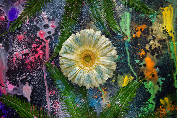 Yellow flowers with dew, Gerber Daisy art, Abstract art photographs,