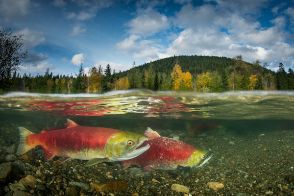 Salmon and Trout Underwater Art