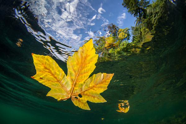 Fall Leaf Underwater