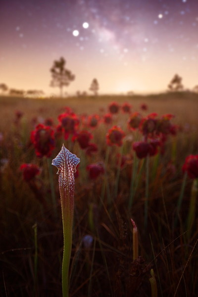 White Topped Pitcher Plant Fine Art Photo | Waldorff Photography