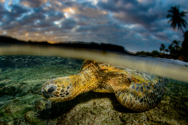 Honu Sunset