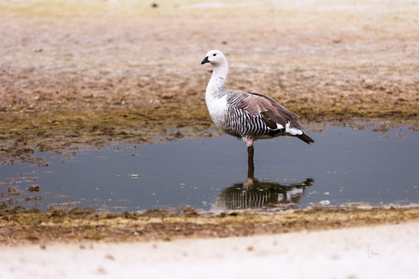 Magellan Goose Falkland Island