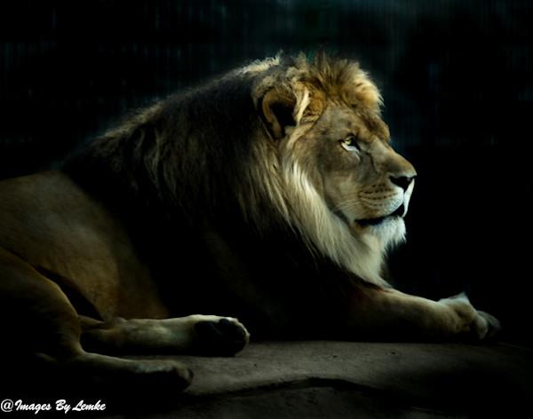 Golden Hour Lion