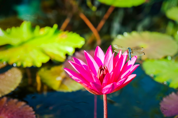 Dragonfly resting on a water lily