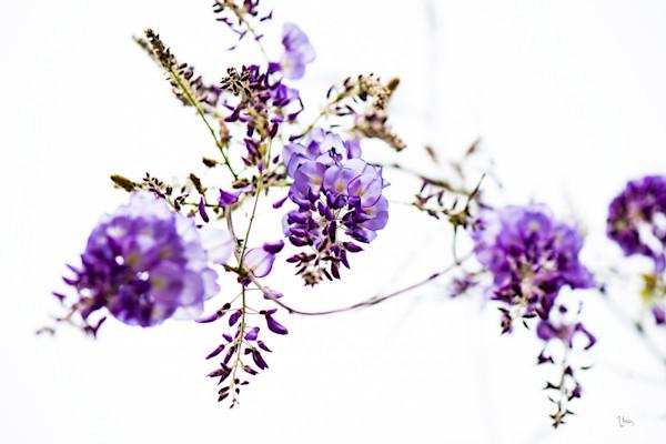 beautiful purple wisteria vine