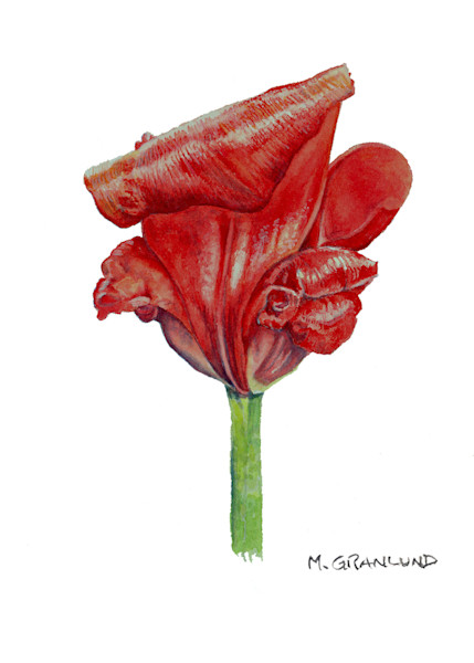 Curling Red Tulip Painting by Mark Granlund