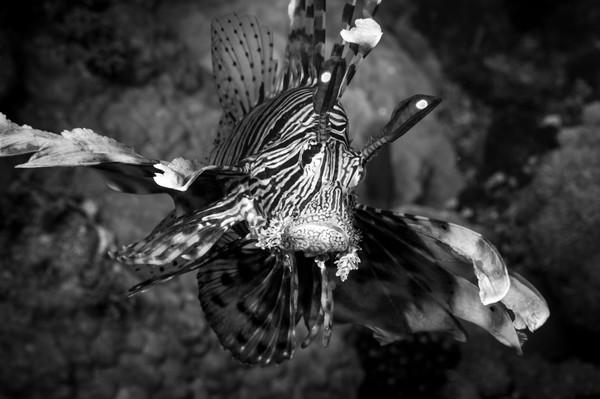 Lionfish Prowling