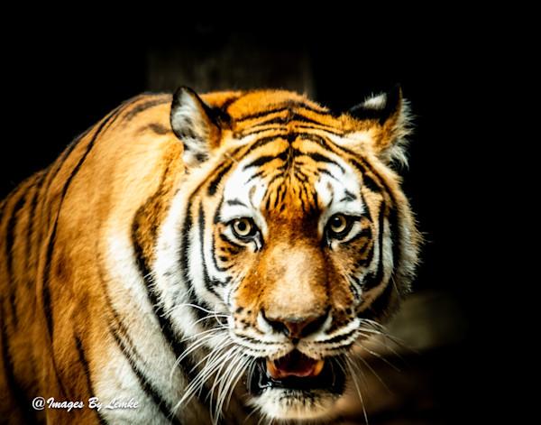 Tiger Stare Down