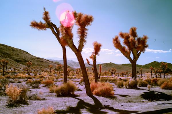 flares on Joshua Tree, photography, Infrared, art
