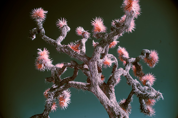 Staring up at a Joshua Tree, infrared photography, art
