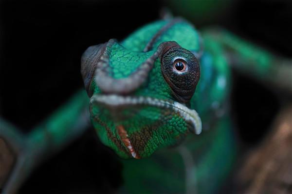 Green Forest Chameleon