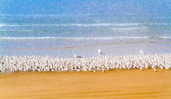 Steve Woodford, beach, photo, Sandpiper Parade, bird. surf
