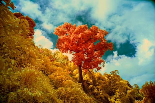 Cotton wood tree, Blue Mountain