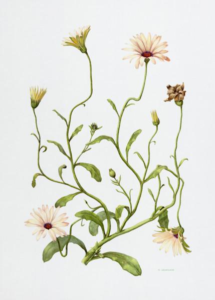 Osteospermum Print at Flower Art Gallery