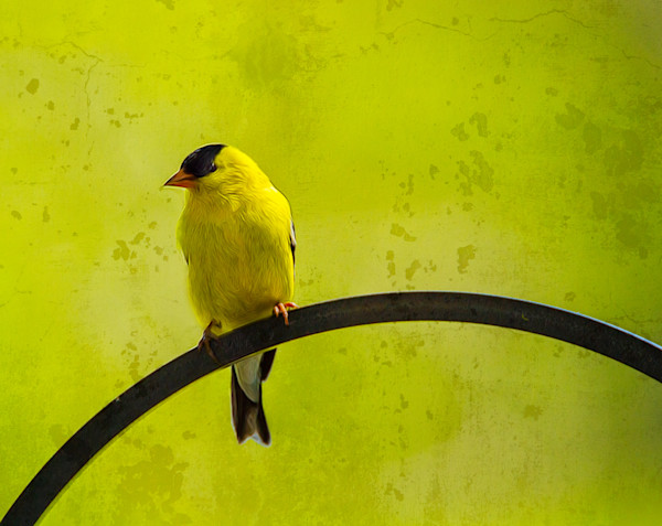 Yellow bird do not fly away