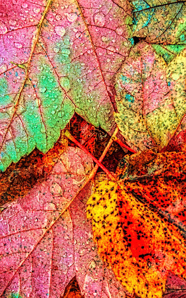 Overnight Rain Leaves Fine Art Photography by Todd Breitling Trees and Leaves Todd Breitling Art