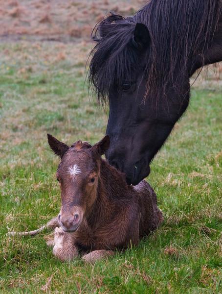 Icelandic Horse Nudging Foal