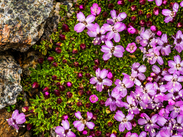 Arctic Thyme in Bloom - Iceland