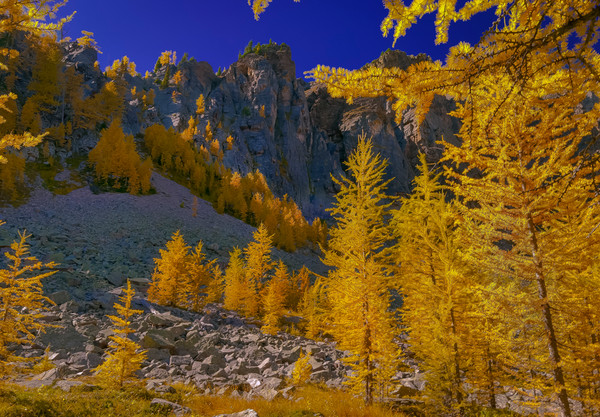 Larch trees in vibrant Fall color in Banff. Canadian Rockies   Banff national Park   Rocky Mountains 