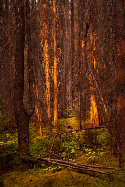 Canadian Rockies Forest Scene. Banff National Park|Rocky Mountains|