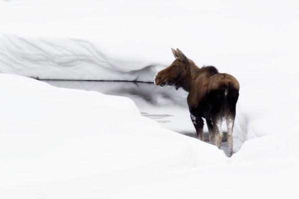 Long-Legged Snow Dance