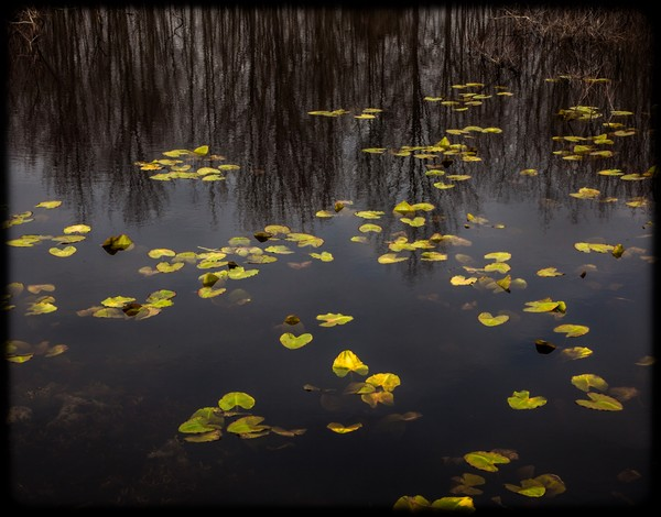 Spring Lily Pads