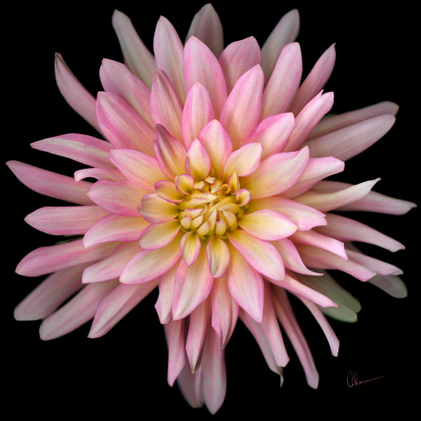 Pink Cactus Dahlia on a square black background.