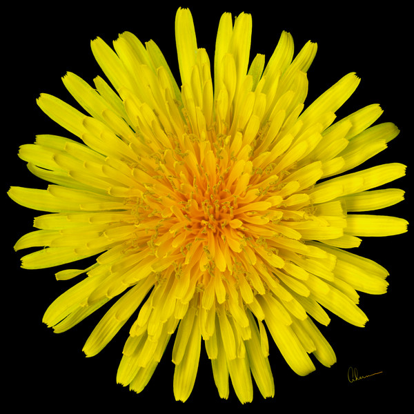 Dandelion Flower on a square black background by the artist, Mary Ahern.