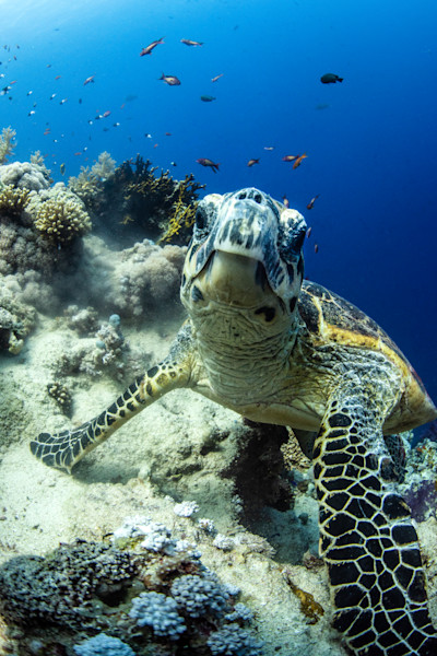 Hawksbill turtle portrait available as a fine art photograph for sale.