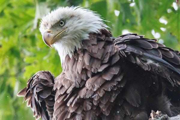 Bald Eagle with feathers ruffled looking intently at something by fine art photographer Steven Archdeacon.