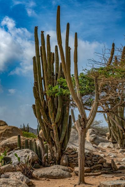 DP580 Pitaya Cactus