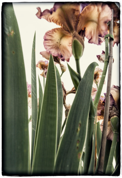 IRISES with greens