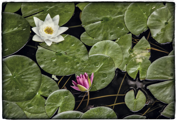 Lilies in Repose